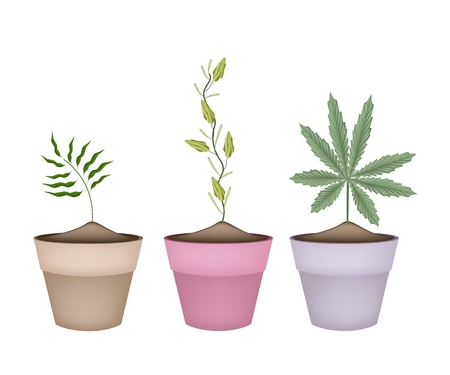 Illustration of Thee Herbal Plant, Shampoo Ginger, Cardamom and Cannabis or Marijuana in Terracotta Flower Pots for Garden Decoration. Vector