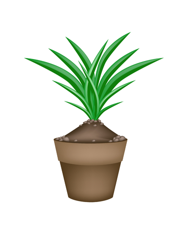 pandanus tree: Vegetable and Herb, Illustration Bunch of Fresh Green Pandan Plant in Terracotta Flower Pots Used in Southeast Asian Cooking as A Flavoring.