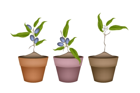 Fruit, Illustration of Three China Olives with Leaves and Blossom Hanging on Tree Branch in Terracotta Flower Pots for Garden Decoration. Vector