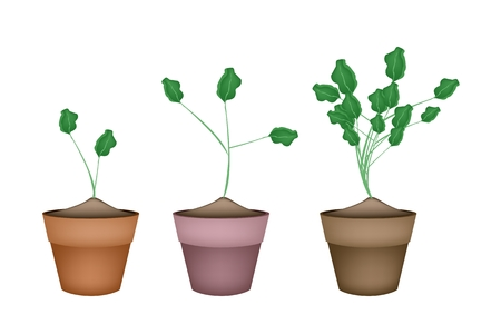 Vegetable and Herb, Illustration Fresh Green Watercress or Nasturtium Officinale Plants in Terracotta Flower Pots Used as Healthy Foods and Herbal Medicines. Vector