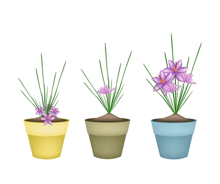 Flower and Herb, Illustration of Fresh Saffron Crocus Plant with Beautiful Purple Blossoms in Terracotta Flower Pots Used for Seasoning in Cooking. Vector