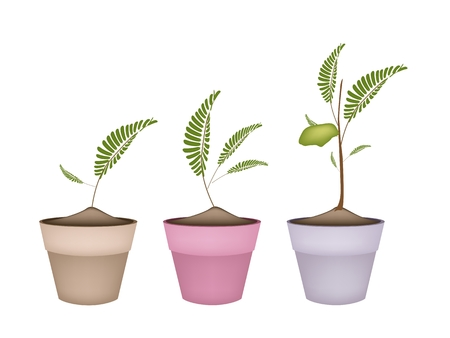 dietary fiber: Fresh Young Garbanzo Beans or Chick Pea Pods on A Tree in Terracotta Flower Pots, Good Source of Dietary Fiber, Vitamins and Minerals. Illustration