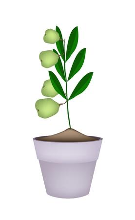 dietary fiber: Illustration of Fresh Green Walnuts on Tree in Terracotta Flower Pots, Good Source of Dietary Fiber, Vitamins and Minerals.