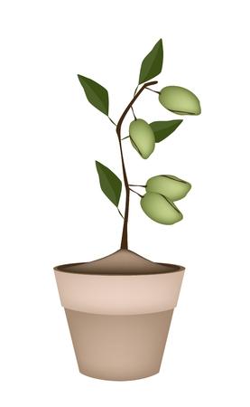 dietary fiber: Fresh Green Almonds on Tree in Terracotta Flower Pots, Good Source of Dietary Fiber, Vitamins and Minerals.