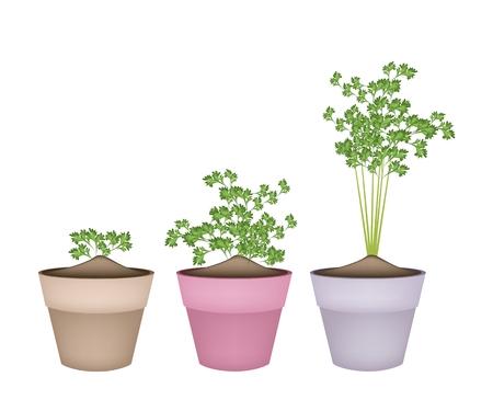 koriander: Növényi és Herb, Illusztráció friss petrezselyem, kínai petrezselyem vagy koriander Kerámia Virágcserepek vagy terrakotta virágcserép kerti dekoráció.