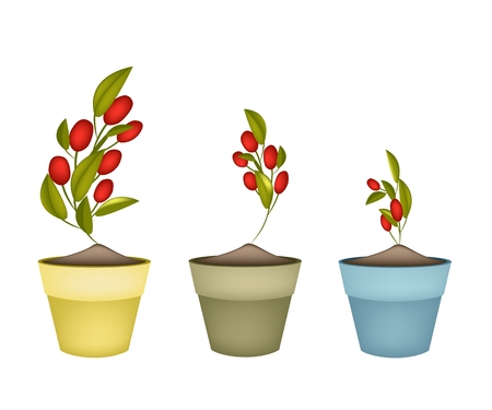 Illustrationof Fresh Red Ripe Olives and Green Leaves Hanging on Tree Branch in Terracotta Flower Pots for Garden Decoration. Vector