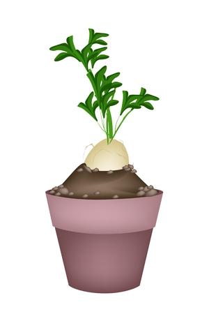 dikon: Vegetal, Ilustraci�n de r�banos Blanco frescas o Daikon R�banos en terracota macetas para la decoraci�n del jard�n.