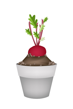 terracotta: Vegetable, Illustration of Two Fresh Radish or Red Beet with Leaves in Terracotta Flower Pots for Garden Decoration.