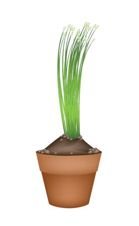 チャイブ: 野菜やハーブ、庭の装飾のための開花にんにくニラやテラコッタの植木鉢で区チャイの図。