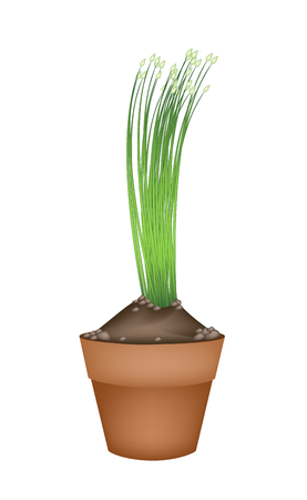 chives: Vegetable and Herb, Illustration of Flowering Chinese Garlic Chives or Ku Chai in Terracotta Flower Pots for Garden Decoration.
