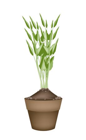 spinat: Gem�se und Kr�uter, Illustration der Wasserspinat oder Ipomoea Aquatica in Terrakotta-Blument�pfe f�r Garten-Dekoration. Illustration