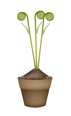 Vegetable, An Illustration of Delicious Fresh Green Fiddlehead Ferns in Terracotta Flower Pots for Garden Decoration. Vector