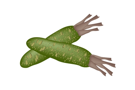 condiment: Vegetable and Herb, Illustration of Fresh Wasabi Root orJapanese Horseradish Used for Japanese Condiment for Sushi and Sashimi.