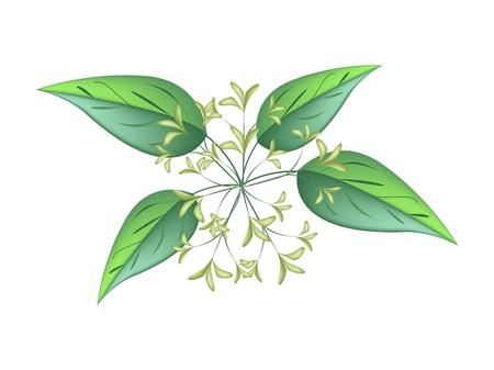 philadelphus: Beautiful Flower, Illustration of White Tuberose Flowers or Night Blooming Jasmine with Green Leaves Isolated on White Background. Illustration