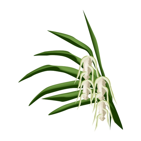 thai orchid: Beautiful Flower, Illustration of Screw Pine Flowers or Pandanus Flowers on Green Leaves Isolated on A White Background