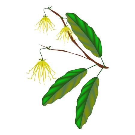annonaceae: Beautiful Flower, Illustration of Thai Yellow Color of Ylang-Ylang Flowers on Tree Isolated on A White Background Illustration