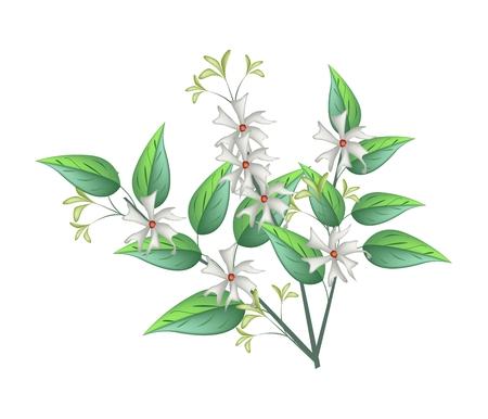 Bel Fiore, Mazzo di Tuberosa bianca Fiori o gelsomino notturno con foglie verdi isolato su sfondo bianco.