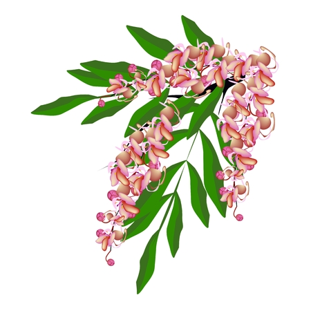 fistula: Beautiful Flower, Illustration Pink Color of Cassia Fistula, Wishing Tree or Pink Shower Flower Isolated on White Background