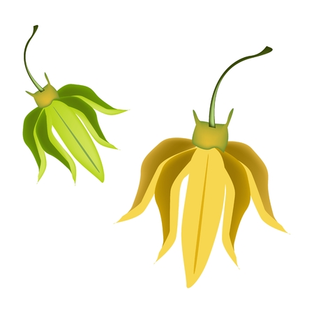 annonaceae: Beautiful Flower, Illustration of Yellow Color of Ylang-Ylang Flowers Isolated on A White Background