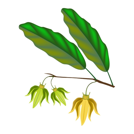 annonaceae: Beautiful Flower, Illustration Yellow Color of Ylang-Ylang Flowers on Tree Isolated on A White Background