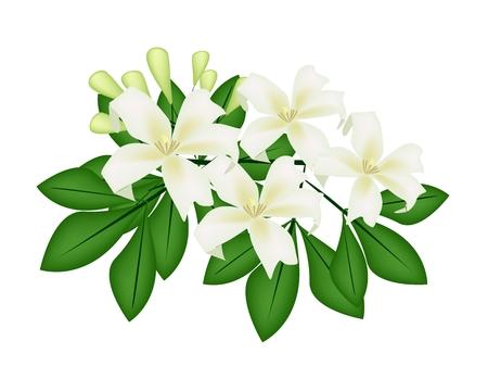 jessamine: Bella fiore, illustrazione di Orange Jessamine o Mock fiori d'arancio su foglie verdi isolato su uno sfondo bianco Vettoriali