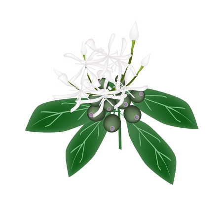 angiosperms: Beautiful Flower, Illustration of White Rubiaceae Flower or White Ixora Flower with Green Leaves Isolated on A White Background