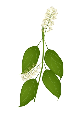 lush foliage: Beautiful Flower, Illustration of White Combretum Flower or Combretum Latifolium Flower white Green Leaves on Tree Branch Isolated on White Background.