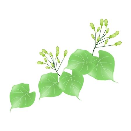 umbel: Beautiful Flower, Illustration of White Hoya Carnosa or Madagascar Jasmine on Green Leaves Isolated on A White Background Illustration