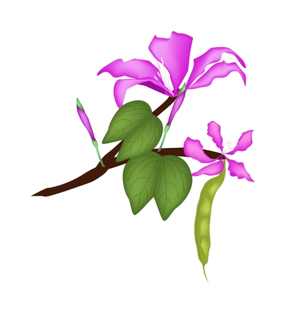 pink orchid: Beautiful Flower, Illustration of Pink Bauhinia Purpurea or Pink Orchid Tree with Green Leaves Isolated on White Background. Illustration