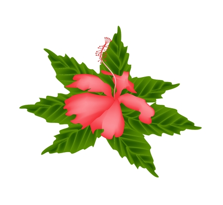 beautiful red hibiscus flower: Beautiful Flower, Illustration of Red Hibiscus Flower or Red Rose Mallow Flower with Green Leaves Isolated on White Background.