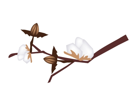 lush foliage: Beautiful Flower, Illustration of A Branch of Ripe Cotton Used to Make Textile Product. Illustration