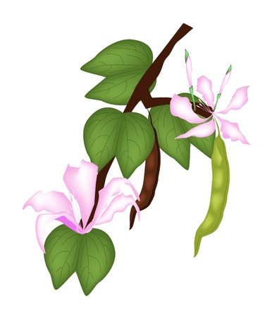 thai orchid: Beautiful Flower, Illustration of Pink Bauhinia Purpurea or Orchid Tree with Green Leaves Isolated on White Background.