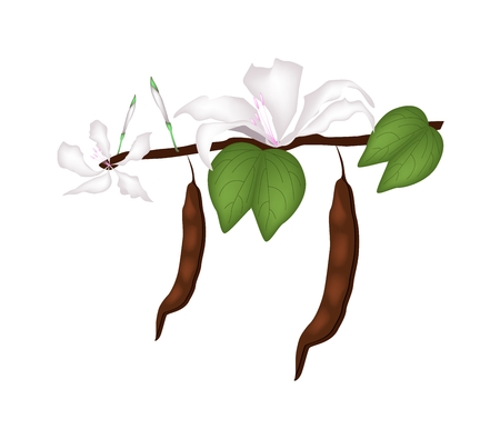 pink orchid: Beautiful Flower, Illustration of White Bauhinia Purpurea or Pink Orchid Tree with Green Leaves Isolated on White Background.