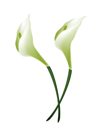 Beautiful Flower, Illustration Bunch of White Calla Lily Flowers or White Arum Lily Blossoms with Green Leaves Isolated on White Background.