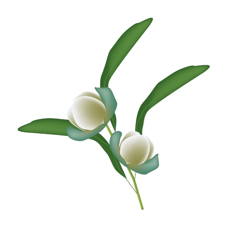 coco: Beautiful Flower, Illustration of Magnolia Coco Flowers with Green Leaves Isolated on White Background.