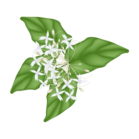 tree jasmine: Beautiful Flower, Illustration of White Indian Cork Flowers or Millingtonia Hortensis Flowers with Green Leaves Isolated on White Background.