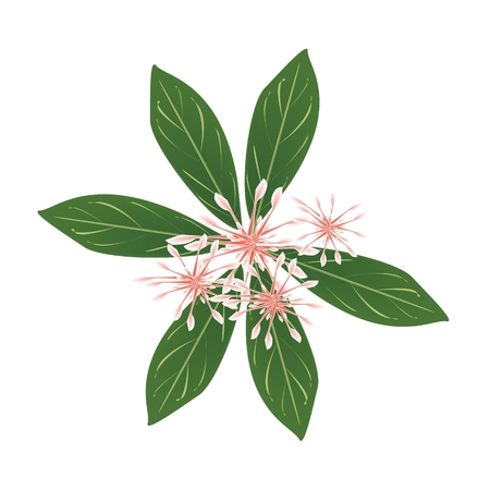 Beautiful Flower, Illustration Brunch of Fresh Red Rauvolfia Serpentina on Green Leaves Isolated on A White Background Banco de Imagens - 46186768