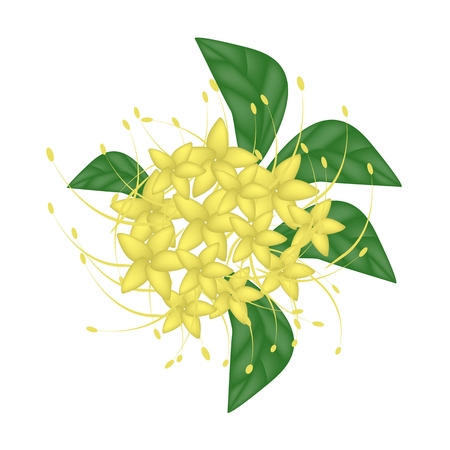 lush foliage: Beautiful Flower, Illustration of Yellow Bush Willow Flower or Combretum Erythrophyllum Flower with Green Leaves Isolated on White Background.
