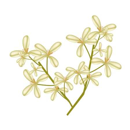 Beautiful Flower, Illustration of Cluster of Sweet Osmanthus Flower Isolated on White Background.