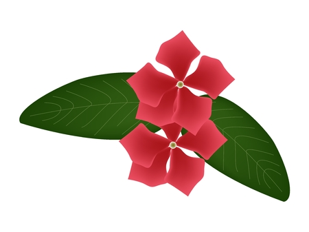 lush foliage: Beautiful Flower, Illustration of Red Cape Periwinkle, Bringht Eye, Indian Periwinkle, or Madagascar Periwinkle Flowers with Green Leaves Isolated on White Background.