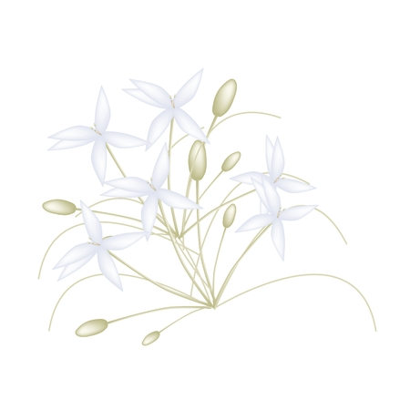fragrant bouquet: Beautiful Flower, Illustration of White Indian Cork Flowers or Millingtonia Hortensis Flowers Isolated on White Background.