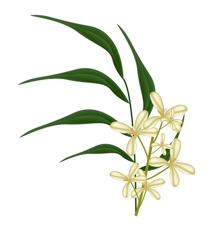 Beautiful Flower, Illustration of Cluster of Sweet Osmanthus Flower with Green Leaves Isolated on White Background. Illustration