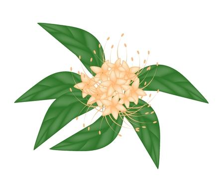 lush foliage: Beautiful Flower, Illustration of Orange Bush Willow Flower or Combretum Erythrophyllum Flower with Green Leaves Isolated on White Background.