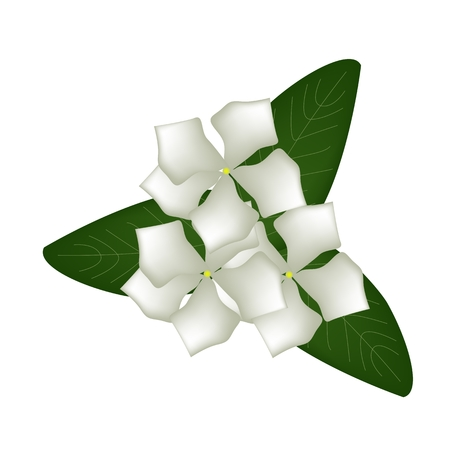lush foliage: Beautiful Flower, Illustration of White Cape Periwinkle, Bringht Eye, Indian Periwinkle, or Madagascar Periwinkle Flowers with Green Leaves Isolated on White Background.