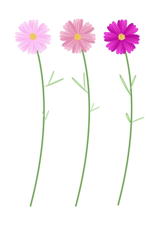 asteraceae: Symbol of Love, Bright and Beautiful Pink Cosmos Flowers or Cosmos Bipinnatus Isolated on White Background. Illustration