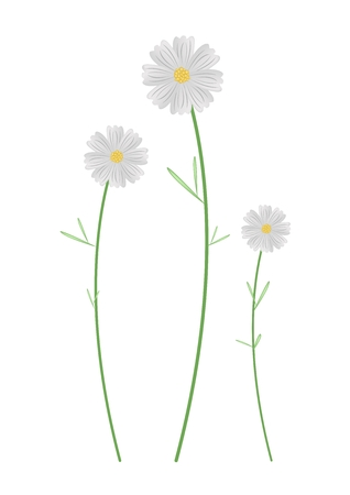 lush foliage: Symbol of Love, Bright and Beautiful White Cosmos Flowers or Cosmos Bipinnatus Isolated on White Background.