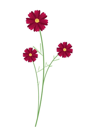 asteraceae: Symbol of Love, Bright and Beautiful Red Cosmos Flowers or Cosmos Bipinnatus Isolated on White Background.