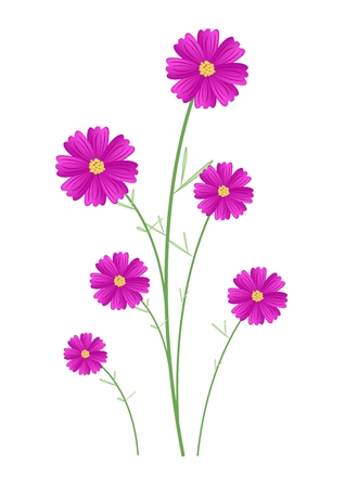 asteraceae: Symbol of Love, Illustration of Bright and Beautiful Pink Cosmos Flowers or Cosmos Bipinnatus Isolated on White Background.