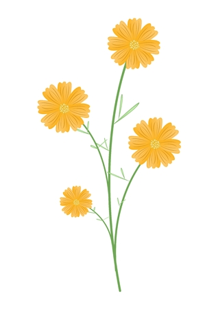 aster: Symbol of Love, Bright and Beautiful Yellow Cosmos Flowers or Cosmos Bipinnatus Isolated on White Background.