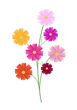 asteraceae: Symbol of Love, Illustration of Cosmos Flowers or Cosmos Bipinnatus Isolated on White Background.